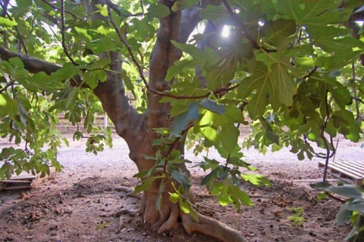 Un hermoso árbol de higo Foto: Cultura Científica