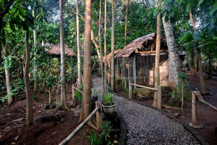 kopi-luwak-indonesia-20