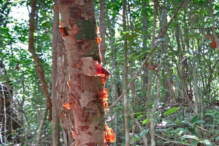 Árbol del Chechén de la Leyenda Maya del Chechén y el Chacá Foto: Retratos