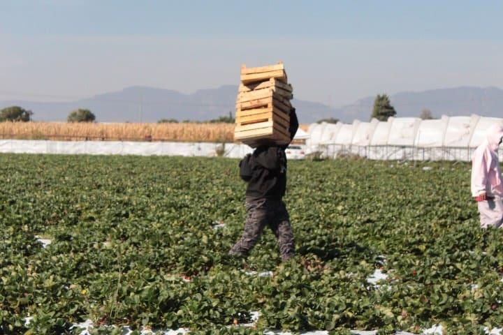 Durante nuestra instancia vimos a trabajadores recolectando fresas. Foto Grace Sánchez