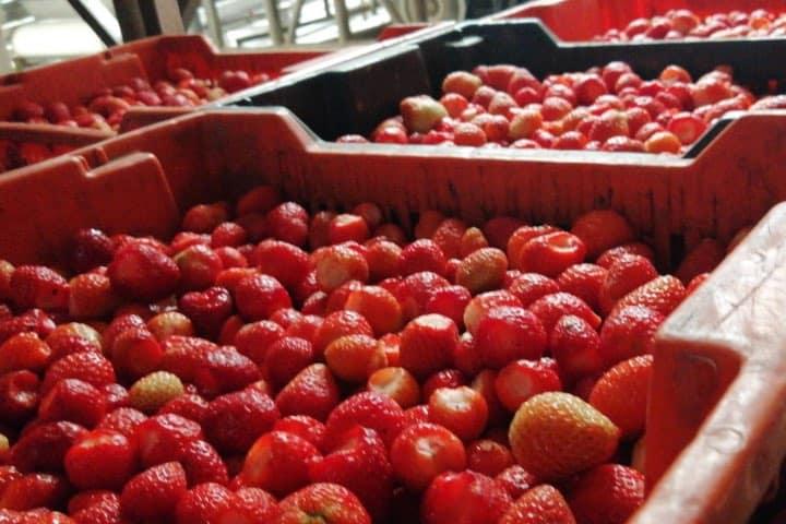 En La Cristalita verás el proceso de cristalización y mermelada de fresa. Foto: Fernando Bautista