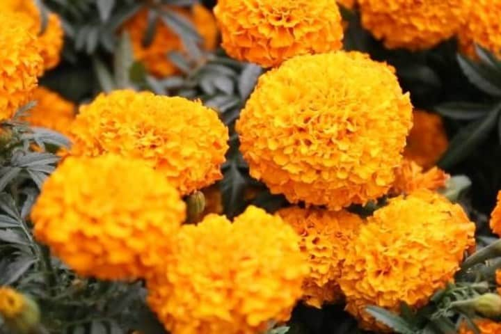 Flor de cempasúchitl. Foto: Pinterest