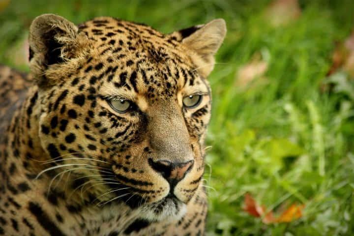 Jaguar Foto: Archivo