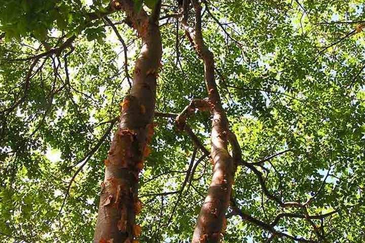 Este árbol de chechén y chacá esconden una fascinante leyenda. Foto: Archivo