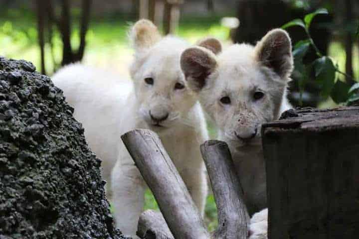 Leones-Blancos-Zoológico-Tlaxcala-Foto-Carlos-Seoane