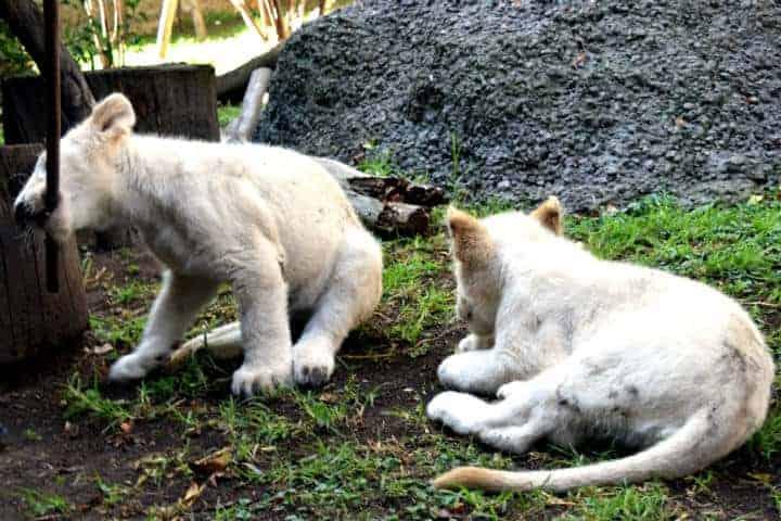 Leones-blancos-Zoológico-Tlaxcala-3