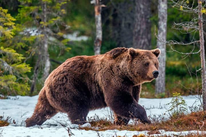 Oso grizzli Foto: Es de latino