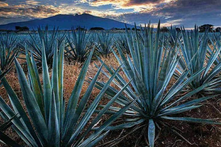 Plantacion-de-Agaves.-Foto_-Fb-Visita-Tequila-Jalisco
