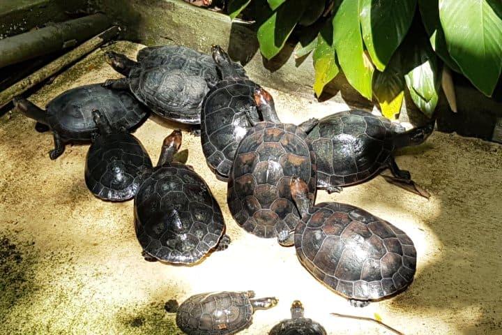 Tortugas que habitan en el Bosque de la Ciencia. Foto: manausjungletours