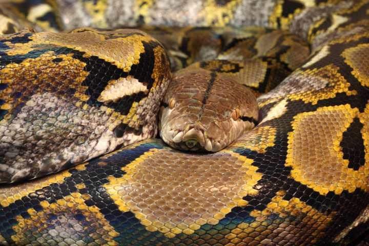 Piton Reticulada de indonesia foto: Serpientes.com