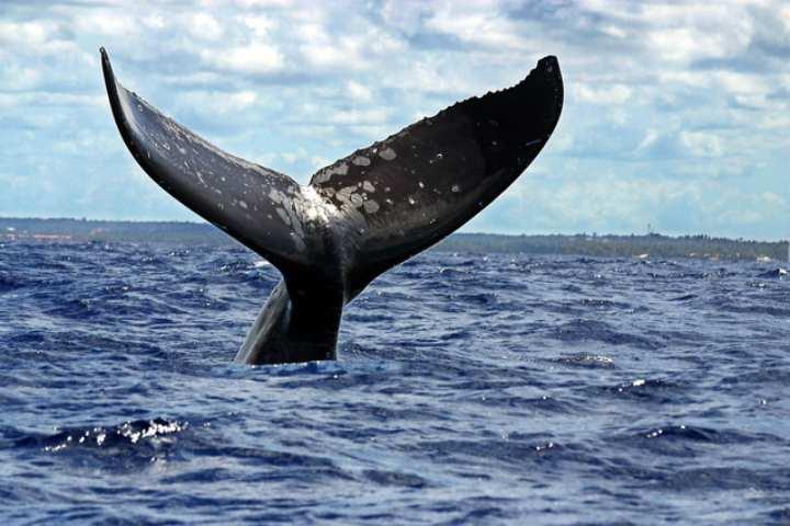 una-ballena-jorobada-costa-brasil-1302790805105