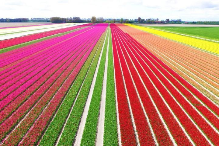 Campos-de-Tulipanes-en-Holanda-1024×576-1