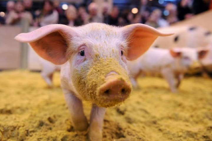 El cerdo es el animal dónde se saca este delicioso manjar. Foto: CNN Español