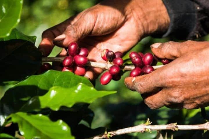 Cosecha manual de café por manos expertas. Foto: pdgespanol