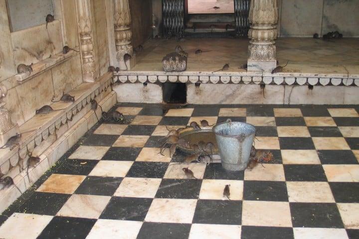 El templo de las ratas Karni Mata en la India
