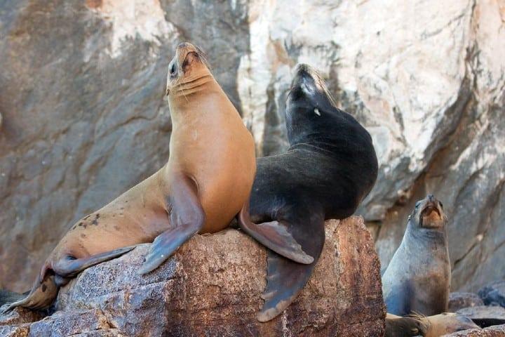 Conoce las Loberas en la Isla Coronado de Loreto. Foto: viveuvmoto: