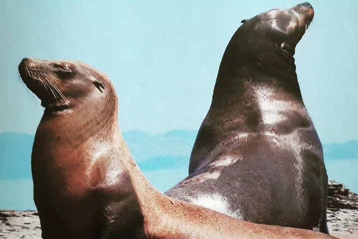 Leones marinos en Isla Coronado. Imagen: fabiola_ballarini