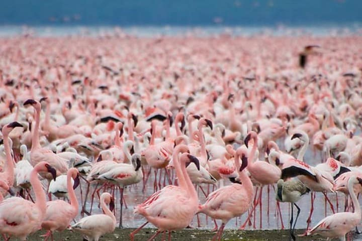 Miles de flamencos rosas en su migración en Kenia. Foto: Evalerac | Flickr