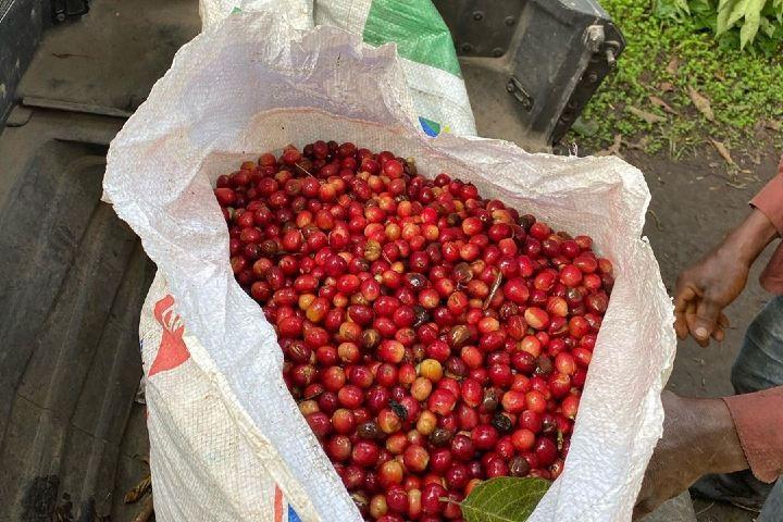 Observa las cerezas maduras listas para el siguiente paso en el proceso. Foto: fincasoledadintag