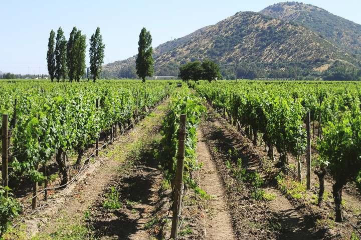 Da un paseo por los viñedos ¡Será magnífico! Foto: Santur transporte y turismo