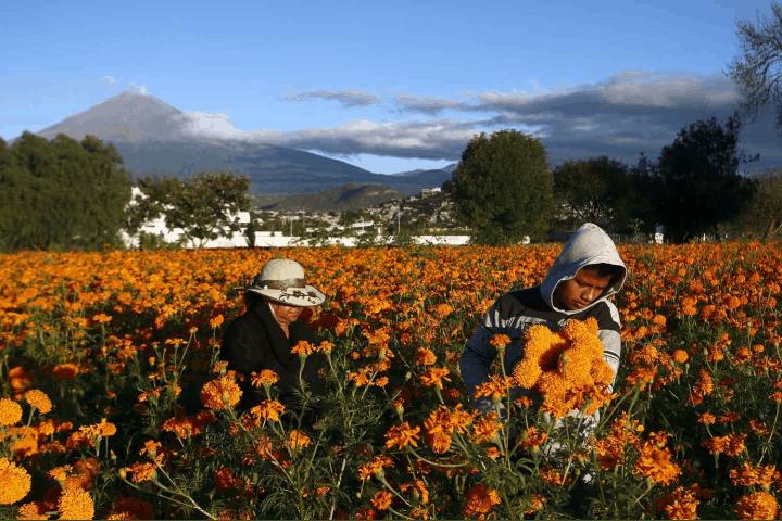Los floricultores mexicanos son los encargados de cuidar estas hermosas flores. Foto: MXcity