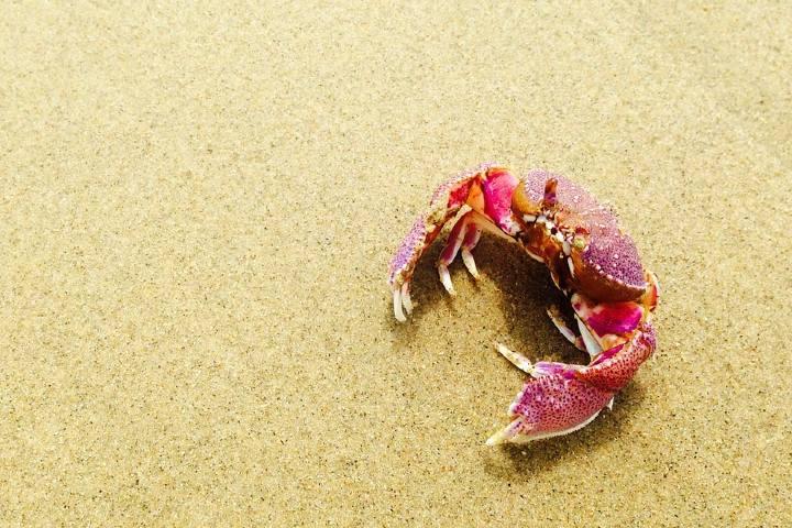 El-Cangrejo-Rojo-de-Australia.-Foto.-Pixabay-1-1