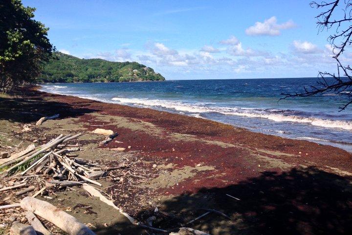 Sargazo-en-Trinidad-y-Tobago.-Foto-jrsinenomine