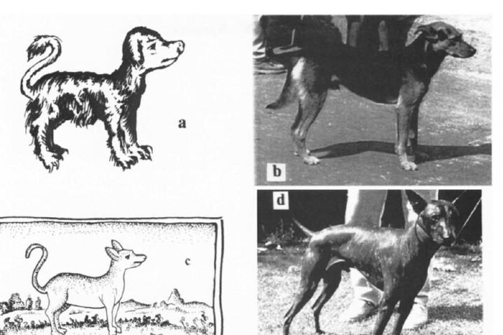 perro-de-colima