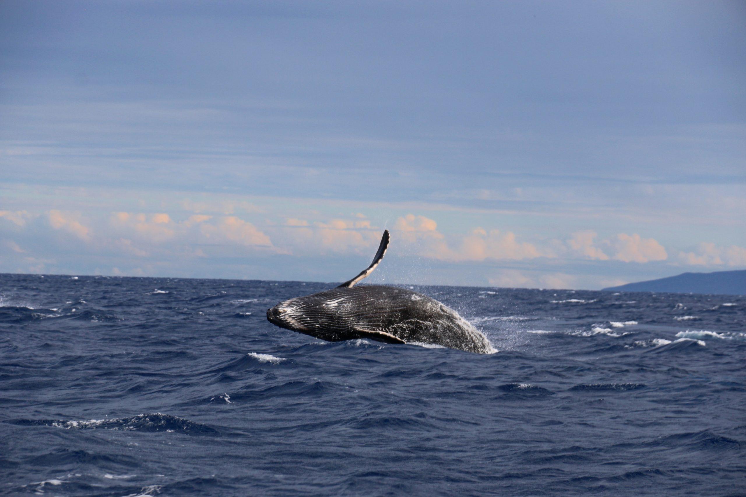 Ixtapa Zihuatanejo. 2021 año de la ballena. Foto: Archivo