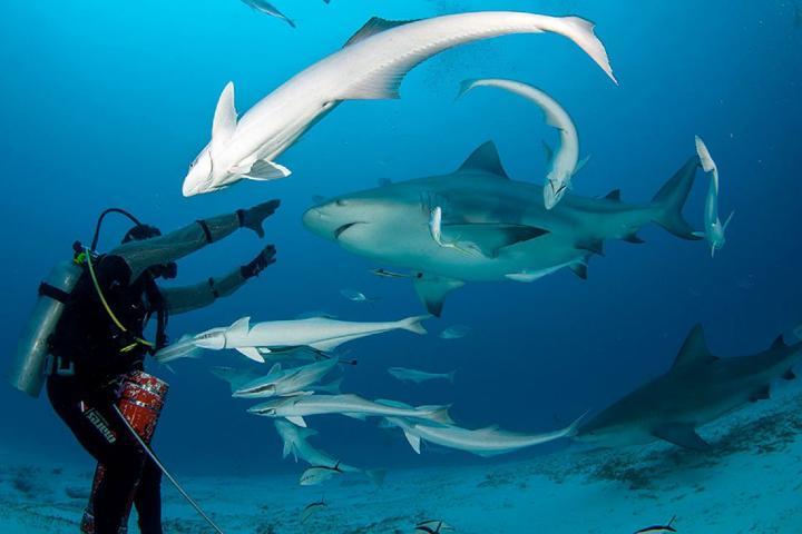 El buceo con tiburones toro en Playa del Carmen será una experiencia inigualable. Foto: Aqua World
