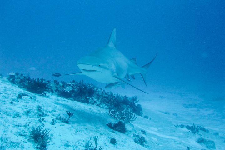 ¿Te atreves a bucear con tiburones toro? Foto: El camino más corto al mundo Maya