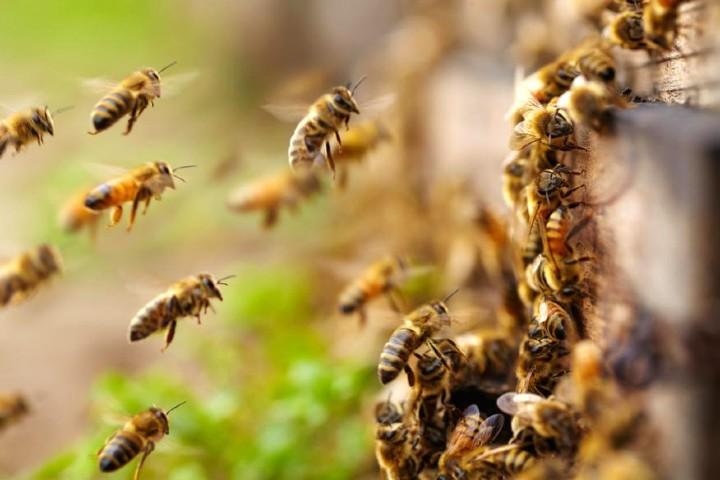 Las abejas son de vital importancia en el planeta. Foto: Grupo Abejas