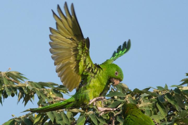 Perico verde mexicano. Foto: NaturaLista