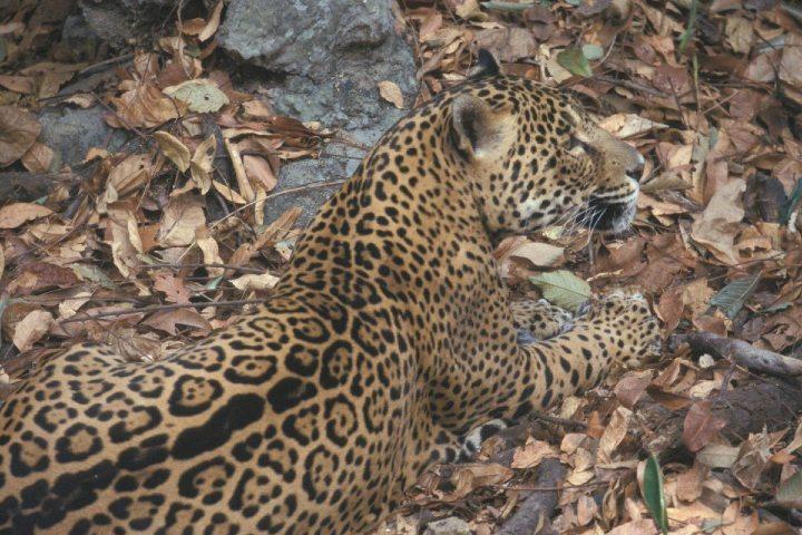 La Reserva de la Biosfera Sierra de Abra Tanchipa es hogar del jaguar. Foto: Archivo