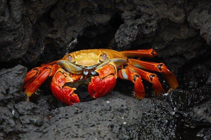 Hin Daeng. Cangrejos, podras verlos en la superficie. Foto WikiImages