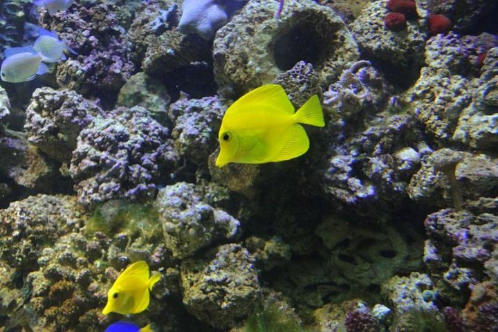 El pez cirujano es una especie que encuentras en el acantilado Hin Daeng en Tailandia. Foto: Vladimir-Adrian