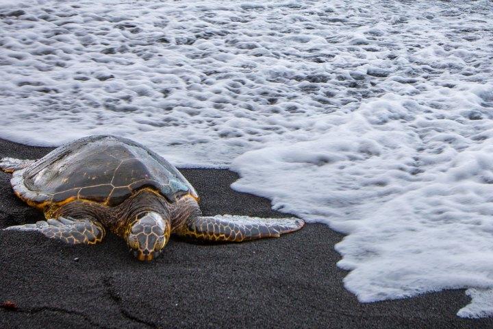 En Punaluu Black Sand Beach admira las tortugas a la distancia. Foto: Location Scout