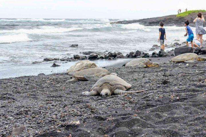 En Punaluu Black Sand Beach las tortugas son visitantes cotidianos. Foto: Go Hawái