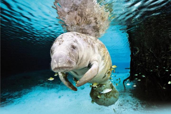 Disfruta del Santuario del Manatí y preserva a la especie. Foto: Consejo de Promoción Turística de Quintana Roo