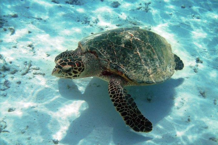 La preservación de la tortuga marina es una de las actividades más importantes en Quintana Roo. Foto: Consejo de Promoción Turística de Quintana Roo