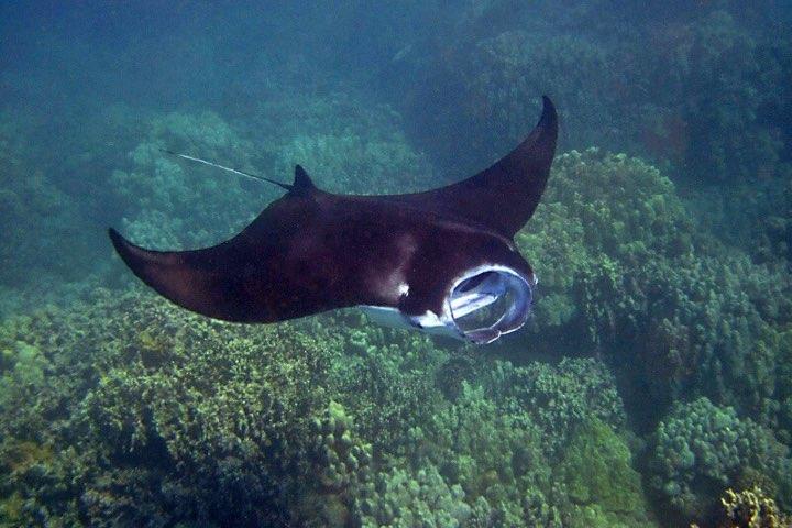 Sólo los mejores buzos podrán nadar junto a las mantas. Foto: Animapedia
