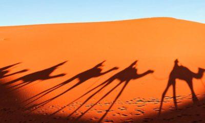 Camellos en Emiratos Árabes Unidos Foto: Lexus