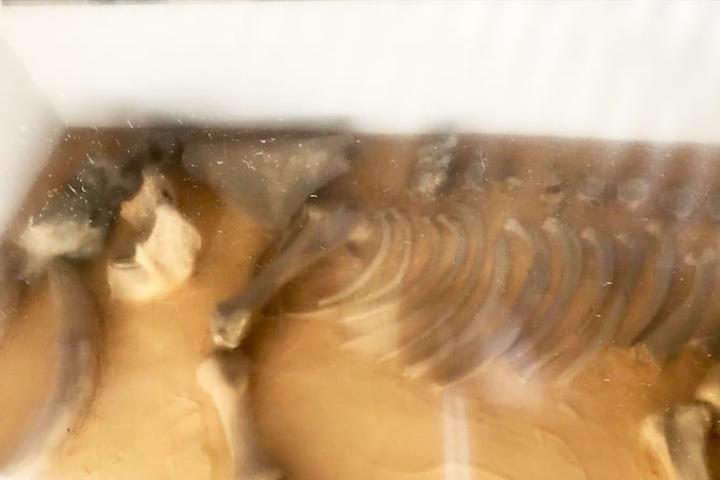 Fósil de mamut en Metro Talismán. Foto: Archivo