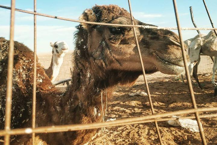 Los camellos son comida exótica en Emiratos Árabes Unidos. Foto: Mako.saw