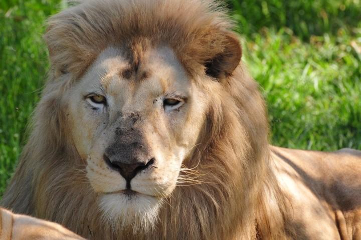 Podrás encontrarte con el Rey de la Selva. Foto: Zoológico de León