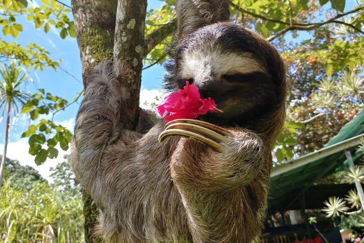 Perezoso. Foto: Sloth Sanctuary Costa Rica | Facebook