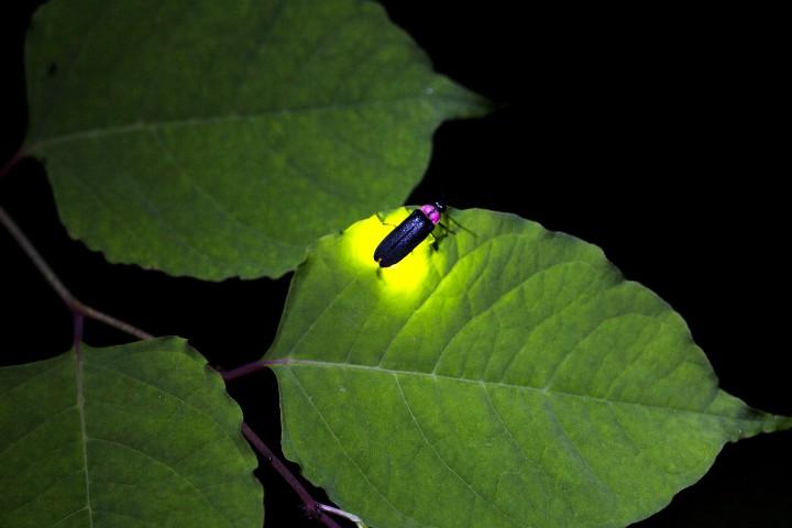 Bosques de Luciérnagas Foto. ASTK. JT.
