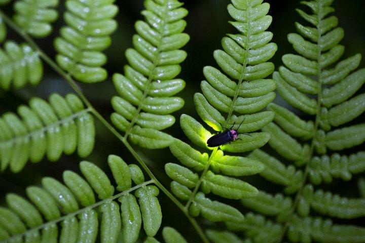 Bosques de Luciérnagas. Foto: ASTK. JT