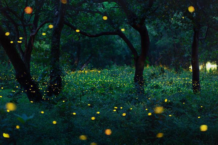 Bosques de Luciérnagas. Foto: ASTK JT