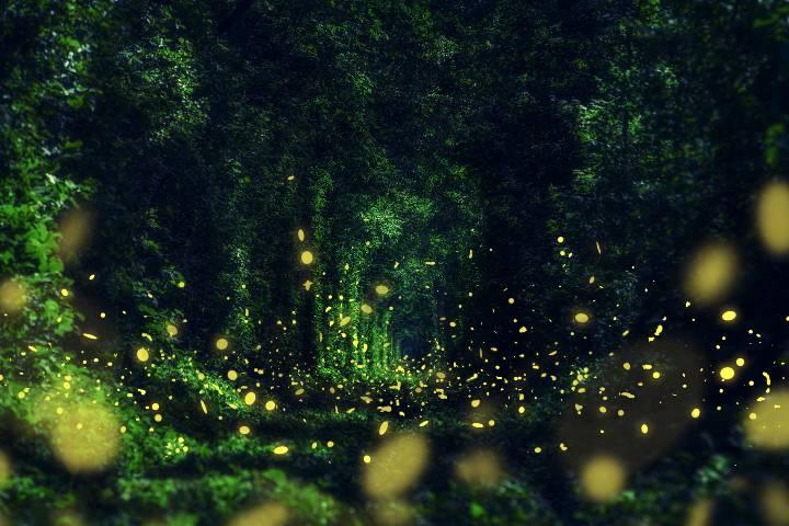 Bosques de Luciérnagas Foto: ASTK JT